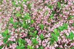 Le fond de texture du redisch fleurit sur l'élevage vert sur le woode Images libres de droits