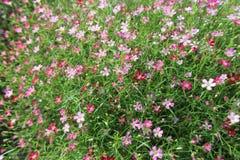 Le fond du foyer de fleur de Gypsophilla, sélectif et mou Image stock