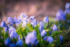 Le fond du ressort de floraison fleurit Scilla Photographie stock libre de droits