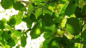 Le fond est des feuilles et des rayons de soleil banque de vidéos