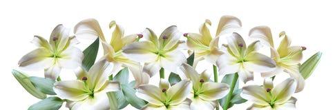 le fond fleurit le blanc lustré du lis deux Photos libres de droits