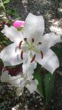 le fond fleurit le blanc lustré du lis deux Photo libre de droits