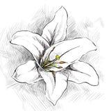 le fond fleurit le blanc lustré du lis deux Images libres de droits