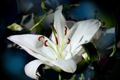 le fond fleurit le blanc lustré du lis deux Image libre de droits