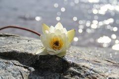 le fond fleurit le blanc lustré du lis deux Images stock