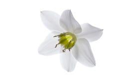 le fond fleurit le blanc lustré du lis deux Photographie stock libre de droits