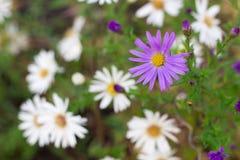 Le fond floral de la camomille blanche et pourpre fleurit Photo libre de droits
