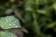 Le fond frais de feuille de rose de vert, pluie chute sur les feuilles Après la pluie photographie stock