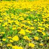 Le fond frais de ressort des pissenlits de jaune de champ fleurissent Photographie stock