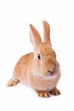 le fond a isolé le blanc rouge de lapin Images stock