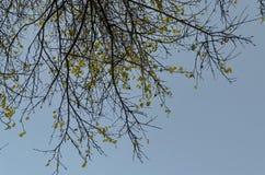 Le fond naturel d'automnal beaucoup s'est embranché arbre avec quelques feuilles jaunes sur le ciel bleu, parc du sud photographie stock libre de droits