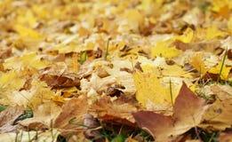 Le fond naturel d'un bon nombre de vieilles feuilles jaunes d'érable est tombé Image libre de droits