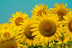 Le fond naturel de tournesol, tournesol fleurissant, huile de tournesol améliore la santé de peau et favorise la régénération de  Photographie stock libre de droits