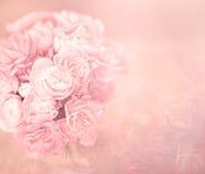 Le fond rose doux mou abstrait de fleur de l'oeillet fleurit Photos libres de droits