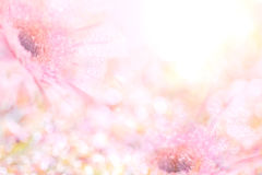 Le fond rose doux mou abstrait de fleur du Gerbera fleurit Images stock