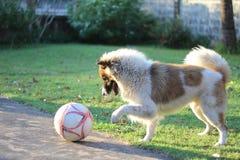 Le football de jeu de chien Image stock