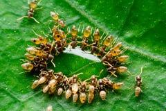 Le formiche Fotografia Stock Libera da Diritti