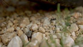 Le formiche cammina sopra le pietre La traccia della formica Primo piano video d archivio