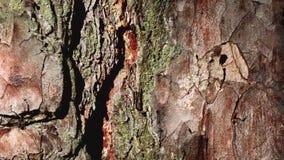 Le formiche camminano sulla corteccia di un albero E video d archivio