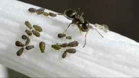 Le formiche coltivano gli afidi su un fiore stock footage