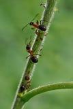 Le formiche comunicano facendo uso delle sue antenne Fotografia Stock