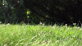 Le formiche con le ali in erba camminano e volano Nido dell'insetto durante il tempo accoppiamento di sciamatura in natura 4K video d archivio