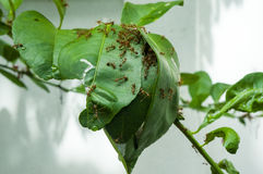 Le formiche costruiscono la casa su un albero Fotografie Stock
