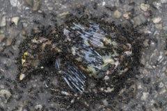 Le formiche del Brown mangiano l'uccello   Fotografia Stock