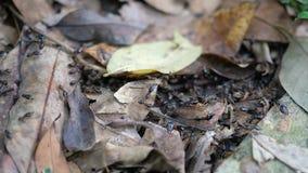 Le formiche nere stanno trasportando l'alimento da sotto le foglie cadute stock footage