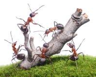 Le formiche portano giù il vecchio albero, lavoro di squadra isolato Fotografie Stock Libere da Diritti
