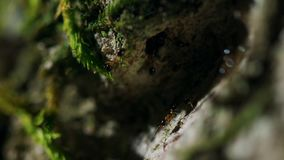 Le formiche portano le uova su un albero in foresta pluviale tropicale fotografia stock
