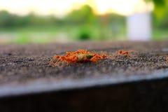 Le formiche prendono il loro alimento al nido Fotografia Stock