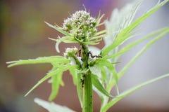 Le formiche radunano gli afidi su un gambo della pianta Immagini Stock