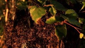 Le formiche vivono in un vecchio ceppo marcio della betulla stock footage