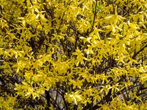 Le forsythia est un genre des usines de floraison dans l'Oleaceae de famille olive photos libres de droits