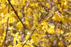 Le forsythia lumineux fleurit au printemps Image stock