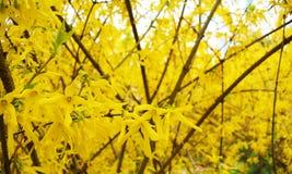 Le forsythia se développant au printemps, jaunit le fond Photo stock