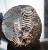 Le fossile d'ammonite dans la roche Image libre de droits