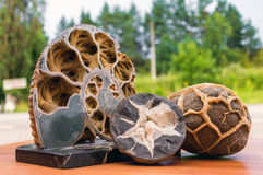 Le fossile d'ammonite dans la roche Images stock