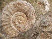 Le fossile de l'amonite de Scapithes a trouvé au Maroc, Afrique du Nord Photos libres de droits