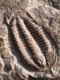 Le fossile de l'des trilobites de la période tôt d'ordovician a trouvé dans la République Tchèque Images libres de droits