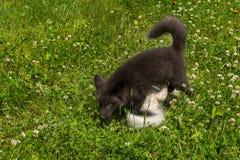 Le Fox argenté et le vulpes de marbre de Vulpes de Fox jouent dans le trèfle Image stock
