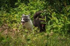 Le Fox argenté et le vulpes de marbre de Vulpes de Fox regarde des mauvaises herbes Image stock