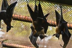 Le Fox de vol du ` s de Lyle est un mammifère Cela vole vraiment image libre de droits
