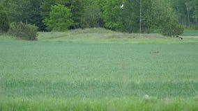 Le Fox disparaît après que les lièvres et les oiseaux aillent après renard banque de vidéos