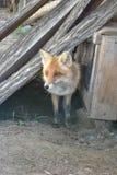 Le Fox est sorti de l'ubieda Photo libre de droits