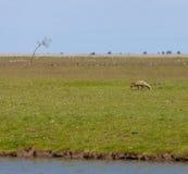 Le Fox rôdant oostvaardersplassen images stock