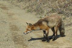 Le Fox renifle l'air recherchant la nourriture Photos libres de droits