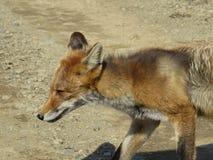 Le Fox se répand ses affaires Photographie stock