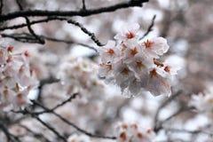 Le foyer étroit sur des fleurs de cerisier et le solf brouillent le fond photo libre de droits